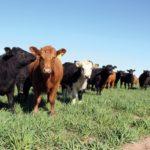 En ganadería, cautela pero producción