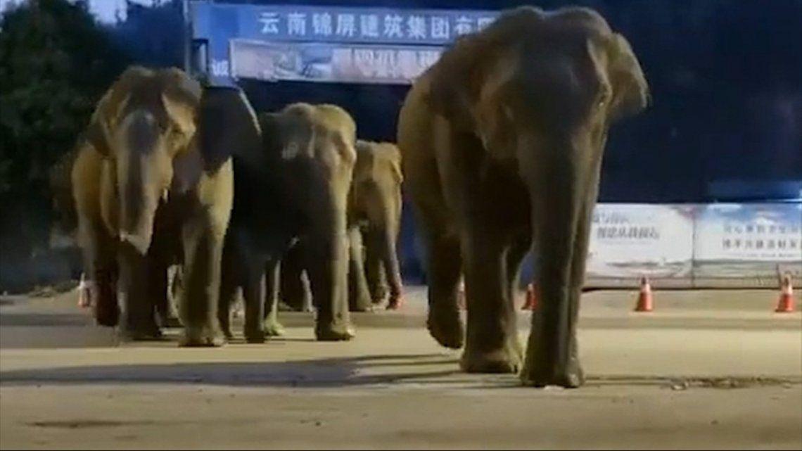 China: una misteriosa marcha de elefantes tiene preocupada a una región